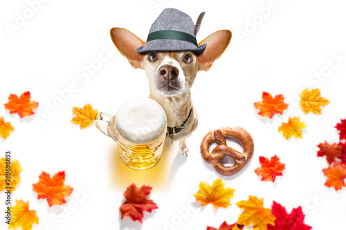 Keuken foto achterwand Crazy dog bavarian beer chihuahua dog