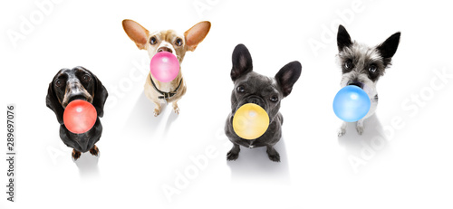 In de dag Crazy dog dog chewing bubble gum