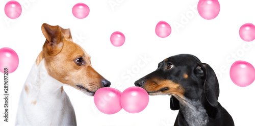 Fotobehang Crazy dog couple of dogs in love, chewing bubble gum