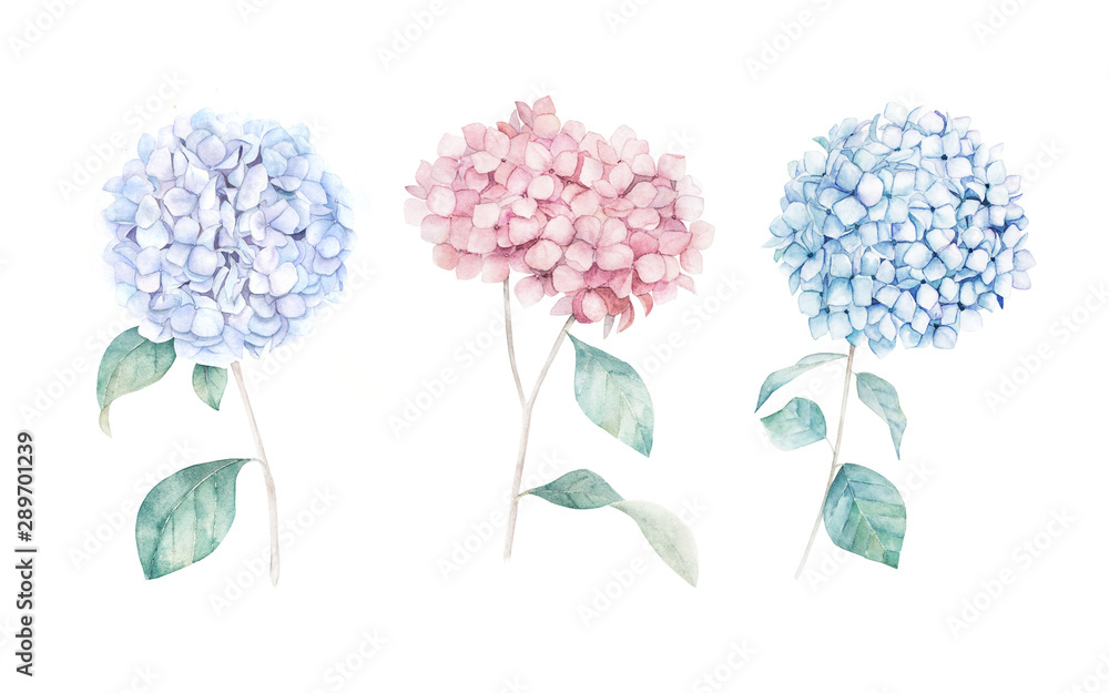 Fototapety, obrazy: Watercolor hand drawn set. Flower hydrangea print. Botanical isolated design