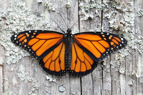 Photo monarch butterfly on old wood