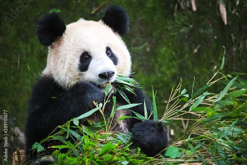 Recess Fitting Panda Cute Eating Panda in China