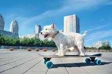 Pretty West Highland Terrier S...