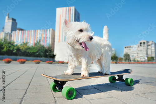 Photo sur Aluminium Chien West highland terrier on the skate board looking back