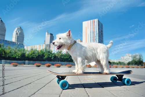 Fotografia Pretty west highland terrier skating on the long board
