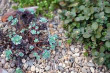 Close Up Of Small Alpine Plants