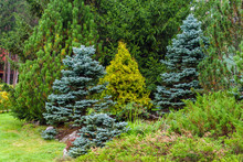 Various Conifers As An Element...