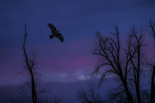 Raven Flying Above Trees At Sunset Purple Sky Nobody