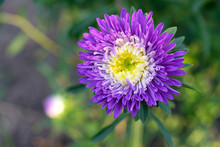 Blue-purple Aster Flower, Close-up. Bright Purple Aster Flower With A White Middle In The Morning Sun. Flowers For The Design Of Flower Beds.