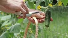Scissors Cutting A Pickling Cu...