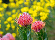 canvas print picture - protea in the western cape, South Africa