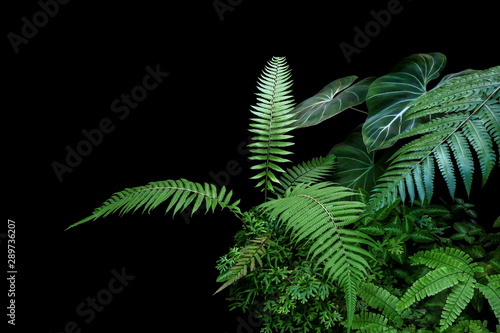 Foto  Fern fronds, philodendron leaves (Philodendron gloriosum) and tropical foliage rainforest plants bush on black background
