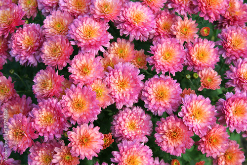 Foto op Plexiglas Roze Pink chrysanthemum flower background