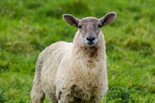 Close Up Of Sheep In Donegal, ...