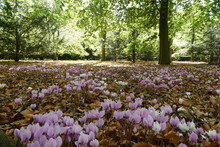 Wild Cyclamen And Autumn Leaves
