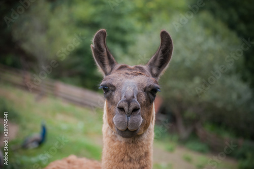 Spoed Fotobehang Lama Portrait of beautiful cute funny lama at green blured background. Close up of brown lama in nature. Wild animal, copy space. Farm concept