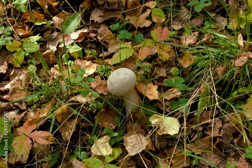 mushroom raincoat grows in the forest among the foliage Canvas Print