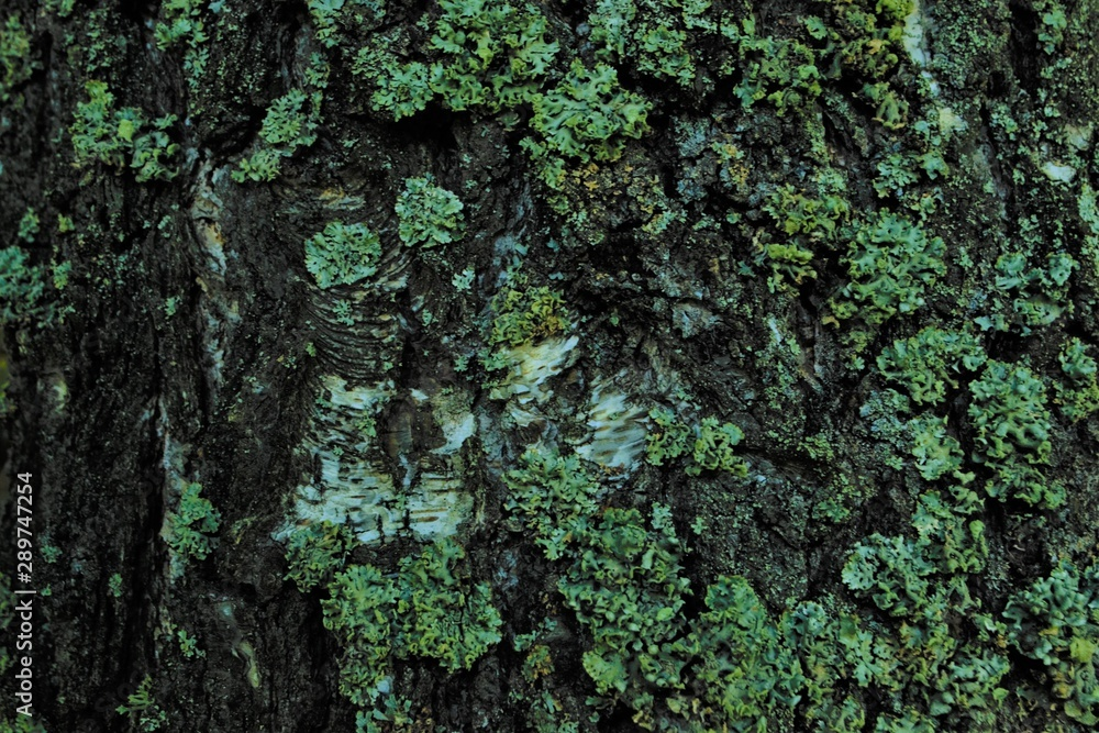 Fototapety, obrazy: grey old birch bark with yellow lichen, texture