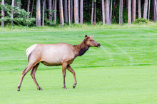 Elk In The Golf Course