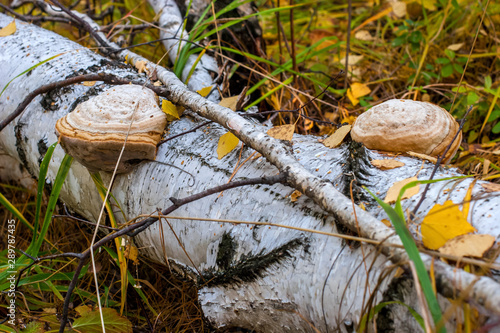 Fényképezés  Birch is in the autumn forest and her two large Polypore