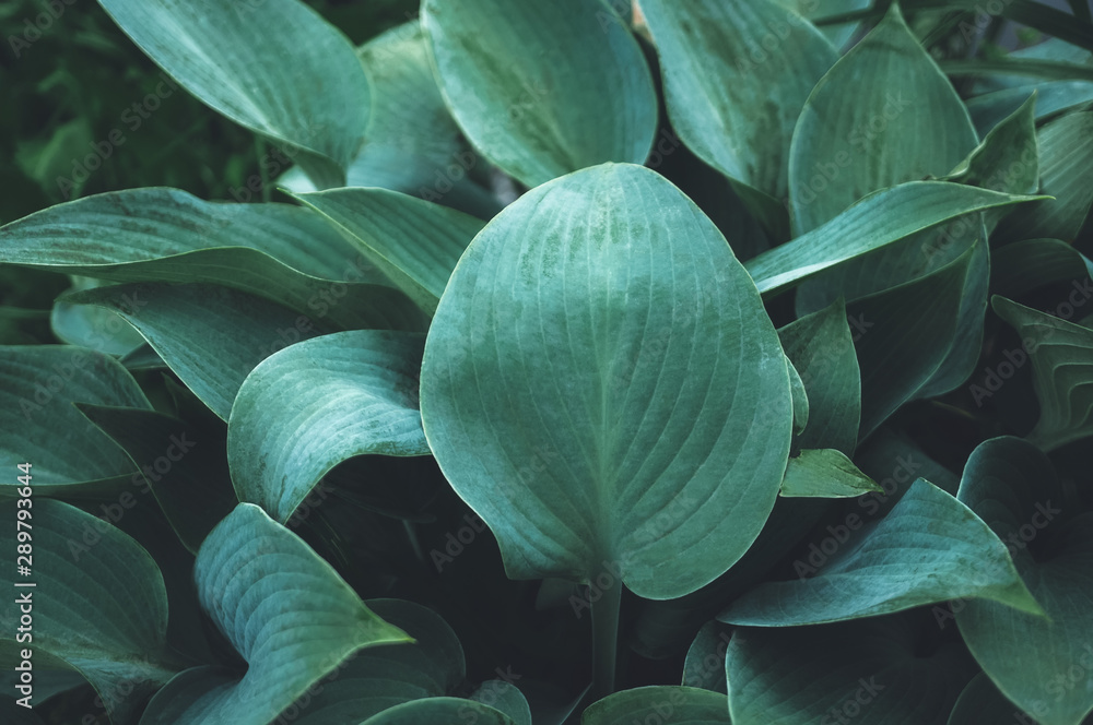 Fototapety, obrazy: Beautiful vegetable background from the leaves of Hosta after a rain. Wallpaper. Close up