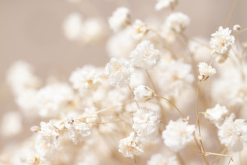 Gypsophila dry little white flowers light macro