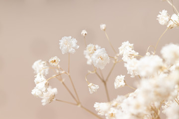 Gypsophila dry little white flowers with macro closeup