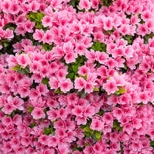 Pink Azalea Flowers Background...