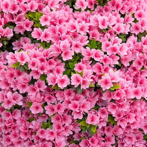 Garden Poster Azalea Pink azalea flowers background ピンク色のツツジの花 背景