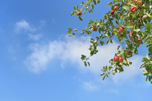 Branch Of Apple Tree With Red ...