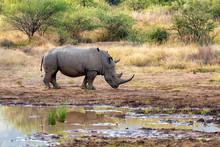 Endangered Species Of White Rh...