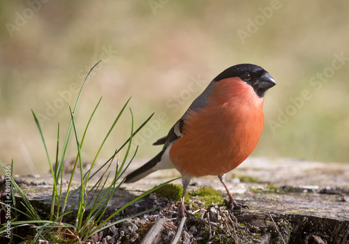 Fotografiet Eurasian bullfinch, common bullfinch, or bullfinch (Pyrrhula pyrrhula)