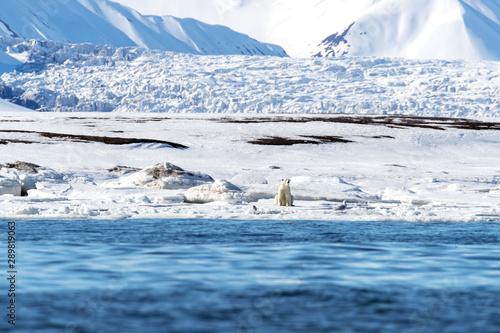 Recess Fitting Polar bear Adult female polar bear sitting on the ice in Svalbard