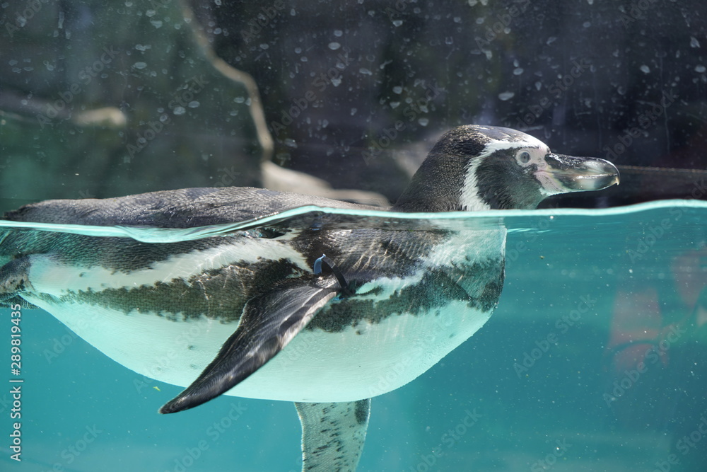 penguin swimming in blue water, shooting through the glass. waterfowl.
