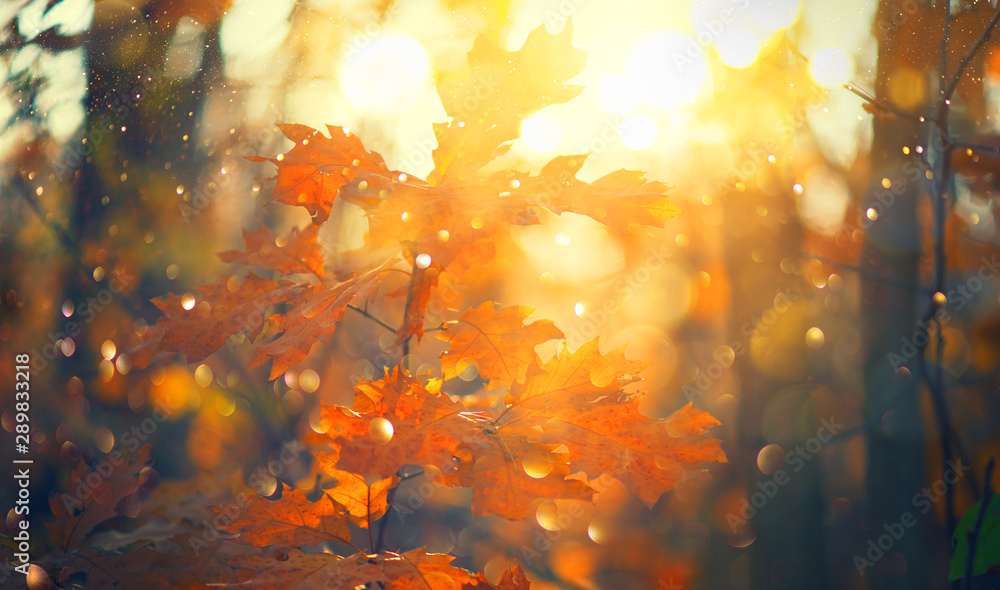Fototapety, obrazy: Autumn colorful bright Leaves swinging in a tree in autumnal Park. Autumn colorful background, fall backdrop. Backlit, sun flare. Beautiful nature scene. Autumnal park. Wide screen backdrop