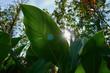 canvas print picture - Große grüne Blätter im Sonnenlicht