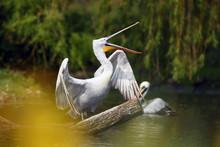 The Dalmatian Pelican (Pelecan...