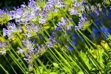 Groups Of Purple Agapanthus Li...