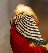 Portrait Of A Male Pheasant In A Zoo