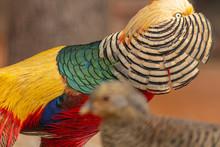 Portrait Of A Male Pheasant In...