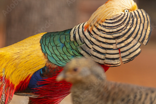 Portrait of a male pheasant in a zoo Wallpaper Mural