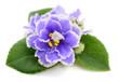 Violets beautiful flowers.