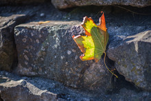 Dry Lonely Yellow Maple Leaf S...