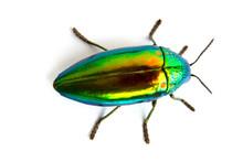 Buprestis Beetle Buautiful Shi...