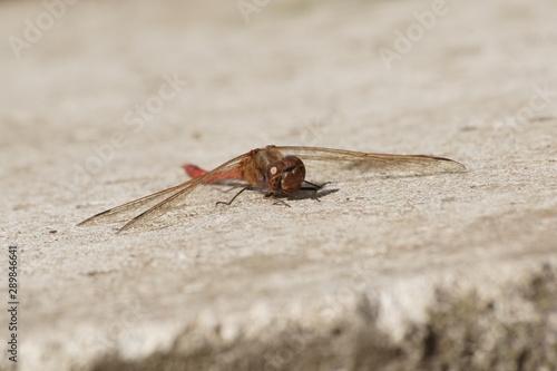 warzka ,owad - 289846641