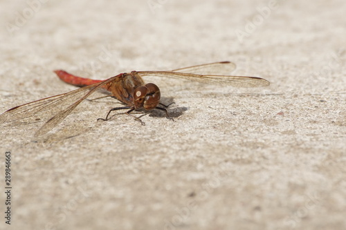 Warzka ,owad ,owad latający ,owad drapieżny - 289846663