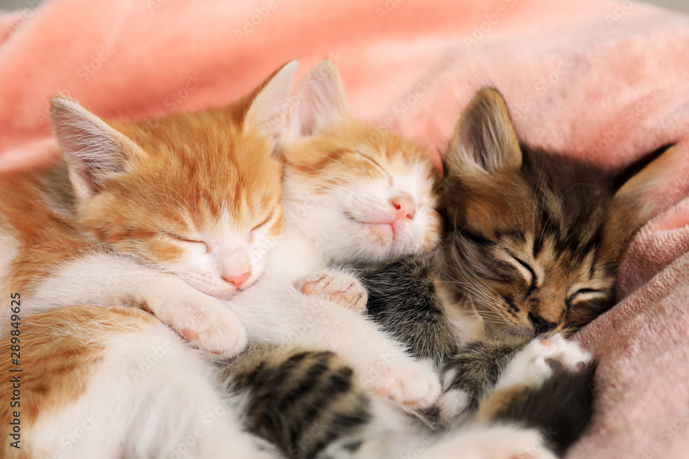 Fototapety, obrazy: Cute sleeping little kittens on pink blanket