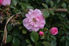A Pale Pink Rose Flower