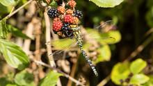 Migrant Hawker Dragonfly, Aeshna Mixta, Feeding On Ripening Blackberries