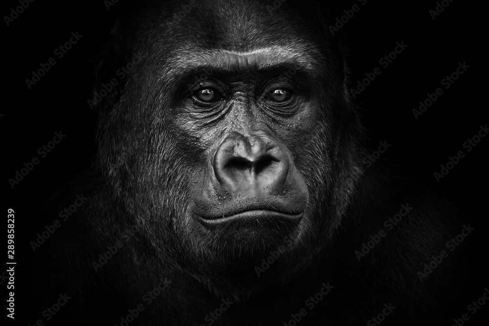 Fototapeta Black and white gorilla
